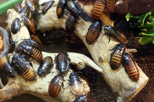 šváby